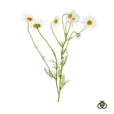 You may be familiar with chamomile as an ingredient in herbal teas. The daisy-like plant has been used for thousands of years as a soothing and natural supplement. It's one of the soothing ingredients we use in our Baby Gripe Water Supplement.