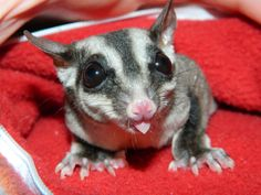 leu sugar glider pictures | This is Sadie, our 100% leu het standard or classic grey.