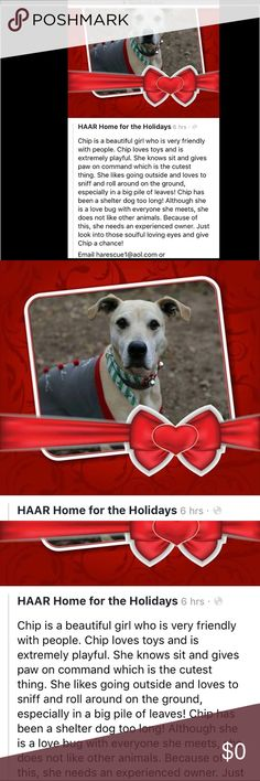 CHIP is seeking FUREVER HOME ATTN NY/NJ/CT/PA http://fs30.formsite.com/HAARescue/AdoptionApplication/index.html (Here's the application) ❤🐶 Rescue Other