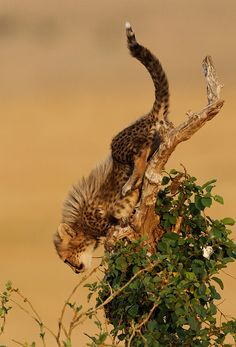 """"""" Cheetah Cub on a Tree by Olivier DELAERE on Flickr. """""""