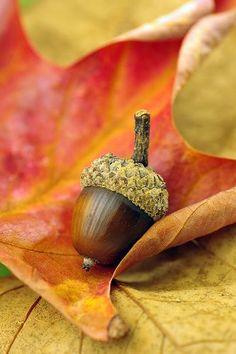 Acorn - in Autumn Leaves
