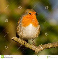 Robin Tattoo, Wrens, Robins, Bird, Tattoos, Animals, Tatuajes, Animales, Animaux