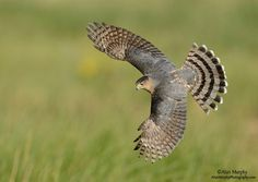 Top Bird Photographers in the World All Birds, Birds Of Prey, Wildlife Photography, Animal Photography, Cooper's Hawk, Zoo Photos, Predator, Eagles, Creatures