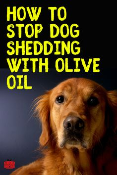 Dog hair out of control? Check out these dog grooming tips on how to stop shedding with olive oil. Puppy Care, Pet Care, Stop Dog Shedding, Dog Health Tips, Cat Health, Health Care, Dog Grooming Tips, Dog Care Tips, Pet Tips