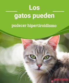 Los gatos pueden padecer hipertiroidismo   Los gatos sufren enfermedades y afecciones como las que podemos sufrir nosotros. En esta ocasión te hablamos del hipertiroidismo en gatos.