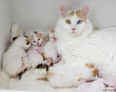 7 Facts About Turkish Van Cats