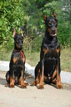 Doberman dogs More