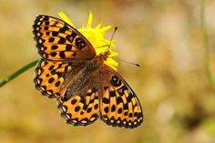 Most of the Fort Rupert fritillaries were in mint condition typical of the early part of their season. However, a few worn individuals suggested that some had been in flight for at least two weeks. http://www.vancouverislandbirds.com/Journal386.html