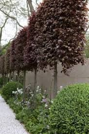 pleached copper beech trees - Google Search<3<3<3<3<3 I CAN DO THIS AROUND FENCE LINE . IT WILL GIVE A GREAT CONTRAST AGAINST BLACK FENCE : better then capital pear trees but can do the same thing, CHANGE THE UNDER PLANTING TO A GREY FOLIAGE OR TO DRY GRASSES