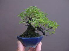 盆栽:フェイスブックに載せた写真より 春嘉の盆栽工房