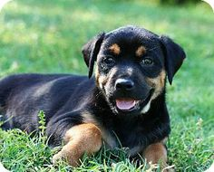 McKinney, TX - Australian Shepherd/Rottweiler Mix. Meet Revy a Puppy for Adoption.