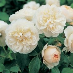 Lichfield Angel - The flowers of this rose commence as charming peachy pink cups, gradually opening to form neatly cupped rosettes. Will form a vigorous, rounded shrub with the overall effect in the mass in sunshine is almost pure white. 4ft. x 3ft.