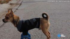 Chihuahua, Wheels, Inspiration, Biblical Inspiration, Chihuahua Dogs, Chihuahuas, Inhalation