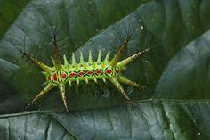 Moth Caterpillar from India via Project Noah