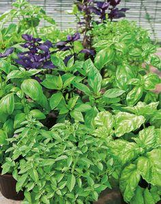 Kruiden zijn heerlijk in de tuin en keuken, maar wist je dat ze ook de muggen voor je op afstand houden? Plant ze in leuke potten rondom balkon of terras, bij je voor- en achterdeur of onder je raam. Daar waar je vaak zit