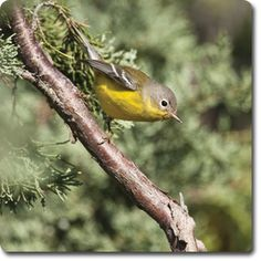 Ruby-Crowned #Kinglet – Learn About the #Bird o' the Day – Backyard #WildBird Directory –