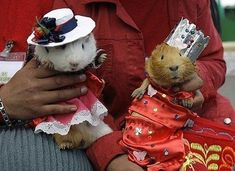 guinea pigs in hats!