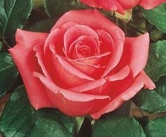 Perfume Delight Hybrid Tea Rose - Monrovia - Perfume Delight Hybrid Tea Rose