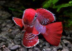 рыбка с бразильского карнавала Killifish - Nothobranchius eggersi Utete