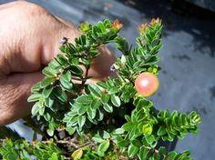 Vaccinium macrocarpum 'Hamilton' Cranberry from Quackin Grass Nursery