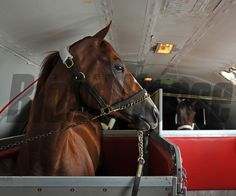 (May 12, 2014) Kentucky Derby winner California Chrome gets settled in to his stall on Tex Sutton flight KFS725, for the short flight to Baltimore. © 2014 Rick Samuels/The Blood-Horse