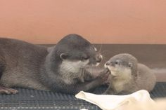 One Otter Parent Wipes the Pup's Mouth and the Other Pulls a Blanket Over Him 1