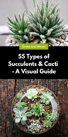 If you are a person who's not at home very often either because of work or a busy life, succulents might be the right plants for you. Let's discover the types of succulents and cacti Types Of Cactus Plants, Types Of Succulents, Cactus House Plants, Growing Succulents, Succulents In Containers, Cacti And Succulents, Planting Succulents, Air Plants, Indoor Cactus