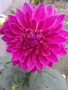 Dahalia flower in my garden.