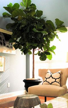 Pair Of Fiddle Leaf Fig - Indoor Trees - | Living with Style ...