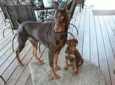 I want a Doberman so bad!!