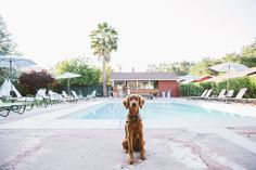 Roux (my Irish Setter - Golden Retriever mix puppy) posing by the pool at Ojai Rancho Inn - fun and funky and dog friendly hotel in Ojai, California on our road trip   Emilie Waugh Photography