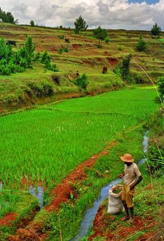 Rice fields of Madagascar. Learn more about African food, culture and art at theculturetrip.com