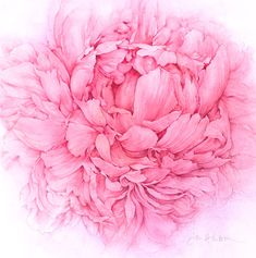 Botanical Illustration by Jan Harbon - Peony Bloom.