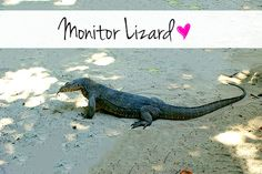 monitor lizard similar to the one we saw in gallehttp://www.keepcalmandtravel.com/sri-lanka-8-days-heaven-hell/