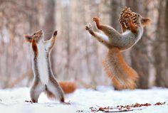 Région de Voronej, Russie : pomme de discorde Alors qu'il se promenait dans les forêts enneigées autour de Voronej (sud-est de la Russie), le photographe Vladimir Trunov a repéré un creux dans un sapin, habité par un écureuil. Il a déposé des noix sur le sol et l'animal s'est rapidement approché.