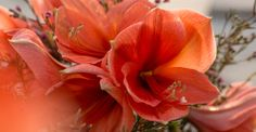 Kalenderwoche 49: 4 Stiele Amaryllis und 10 Stiele Waxflower