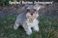 teacup | toy mini liver pepper schnauzer. photo taken by spoiled rotten schnauzers