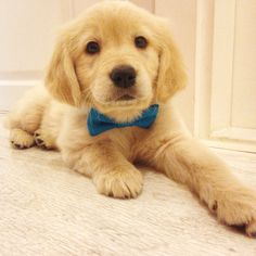 OTTO the golden retriever with bow tie Cute Puppies, Cute Dogs, Dogs And Puppies, Baby Animals, Cute Animals, Calendar Pictures, Pets 3, All Dogs, Dog Life