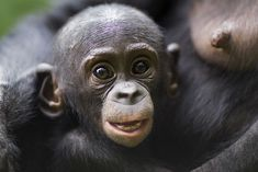 A baby bonobo, aged nine to 12 months, at the Lola Ya Bonobo Sanctuary in the Democratic Republic of Congo