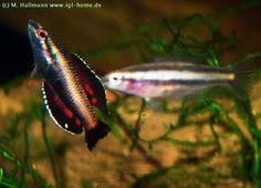 Gourami Parosphromenus Anjunganensis | Thread: Parosphromenus sp.