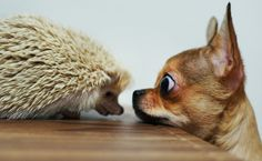 chihuahua and hedgehog.....I'll bark loud if you come any closer!!!!