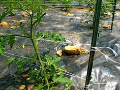 Florida weave to stake tomatoes.jpgTomato cages aren't the only option! Learn 5 different ways to stake tomatoes to keep them off the ground, healthy and full of tomatoes!