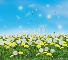 """Download the royalty-free photo """"Spring flowers dandelions and blue sky. Digital Illustration, landscape. Spring Holiday background with yellow dandelion meadow."""" created by sofiartmedia at the lowest price on Fotolia.com. Browse our cheap image bank online to find the perfect stock photo for your marketing projects!"""