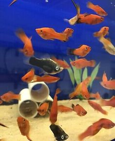 X20 Assorted Swordtails Xiphophorus hellerii Tropical Fish $36.3 Aquarium Fish For Sale, Tropical Aquarium, Aquarium Fish Tank, Tropical Fish, Swordtail Fish, Selective Breeding, Live Fish, Colorful Fish