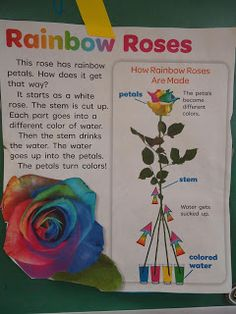 Rainbow/Color Experiment (using one white rose)-Great idea for science project with the kids! Kid Science, Preschool Science, Teaching Science, Science Activities, Activities For Kids, Forensic Science, Physical Science, Computer Science, Science Fair Projects