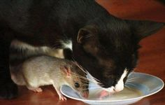 Tom and Jerry cat