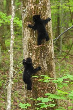Two bear cubs climbing a tree. Great Smoky Mountains National Park, North Carolina and Tennessee, USA