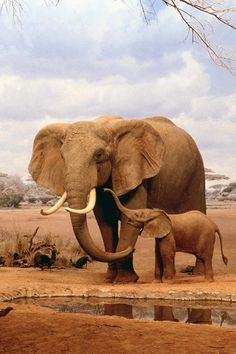 Precious baby elephant- I love African animals <3