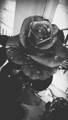 Black rose,  drop
