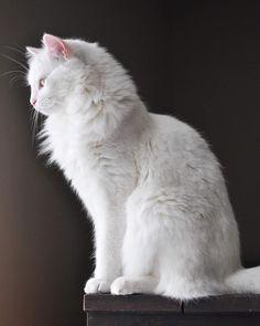 Cute Cats And Dogs, Cool Cats, Cats And Kittens, Turkish Angora Cat, Angora Cats, Pretty Cats, Beautiful Cats, Bastet, Cat Anatomy